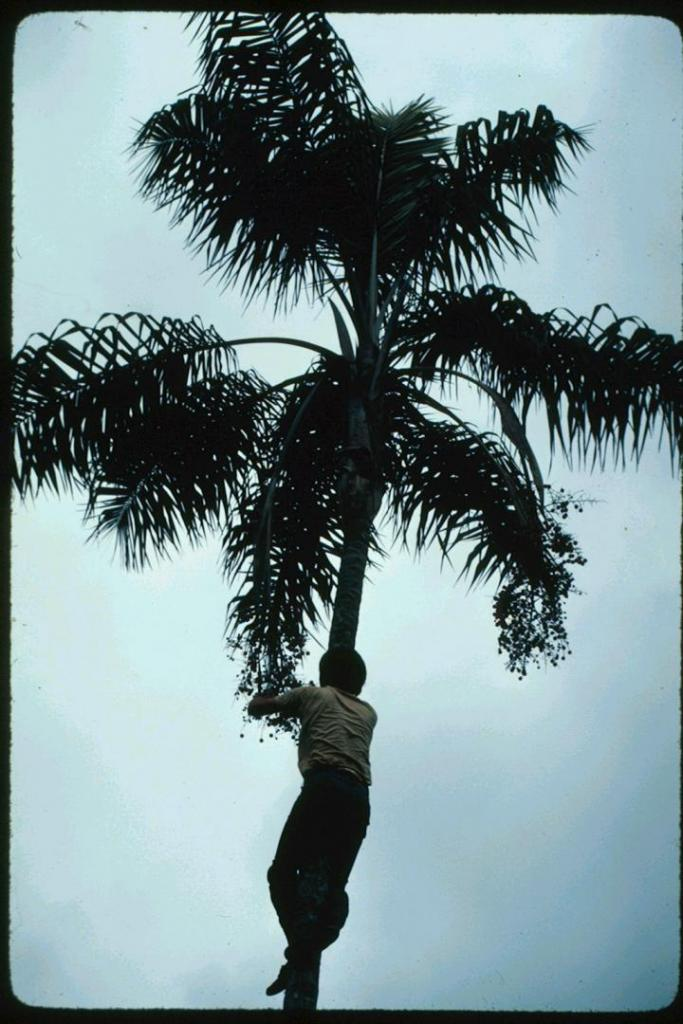 Ceroxylon hexandrum with Dale on tree.jpg