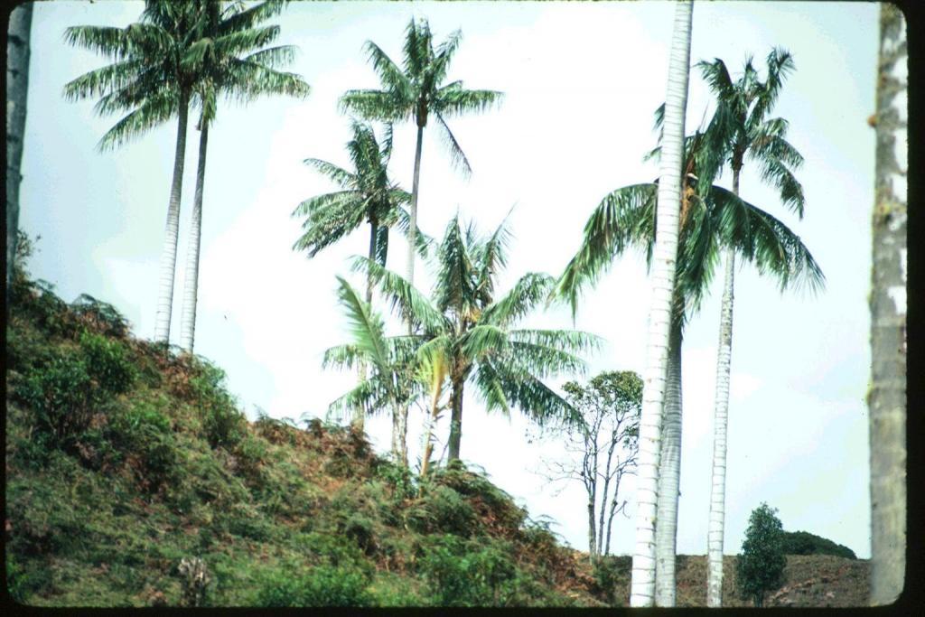 Ceroxylon quiendiuense on hillside.jpg