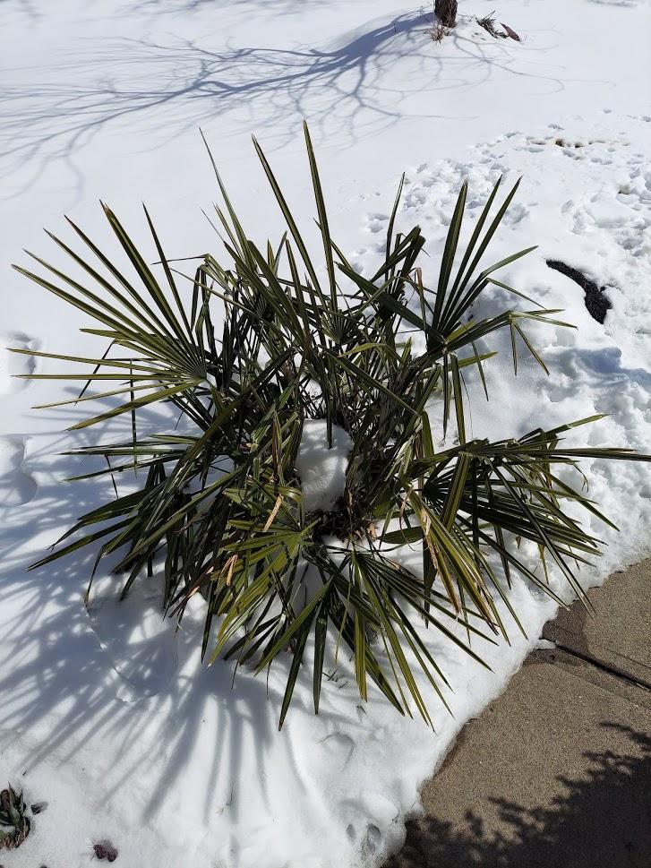 large needle palm.jpg