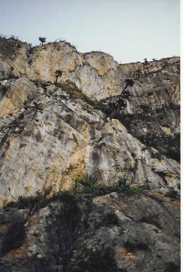 Brahea moorei on distant cliffs.jpg