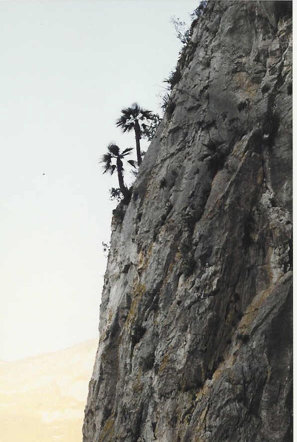 Brahea moorei near Monterey, Mexico.jpg
