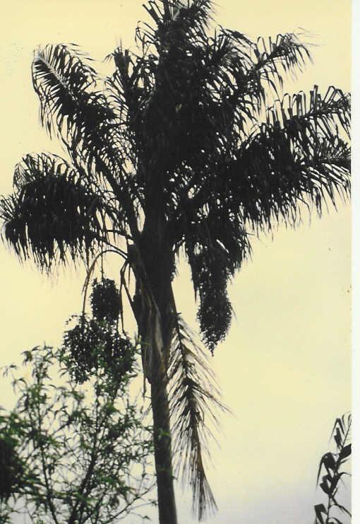 Ceroxylon hexandrum Sibundoy, Colombia.jpg