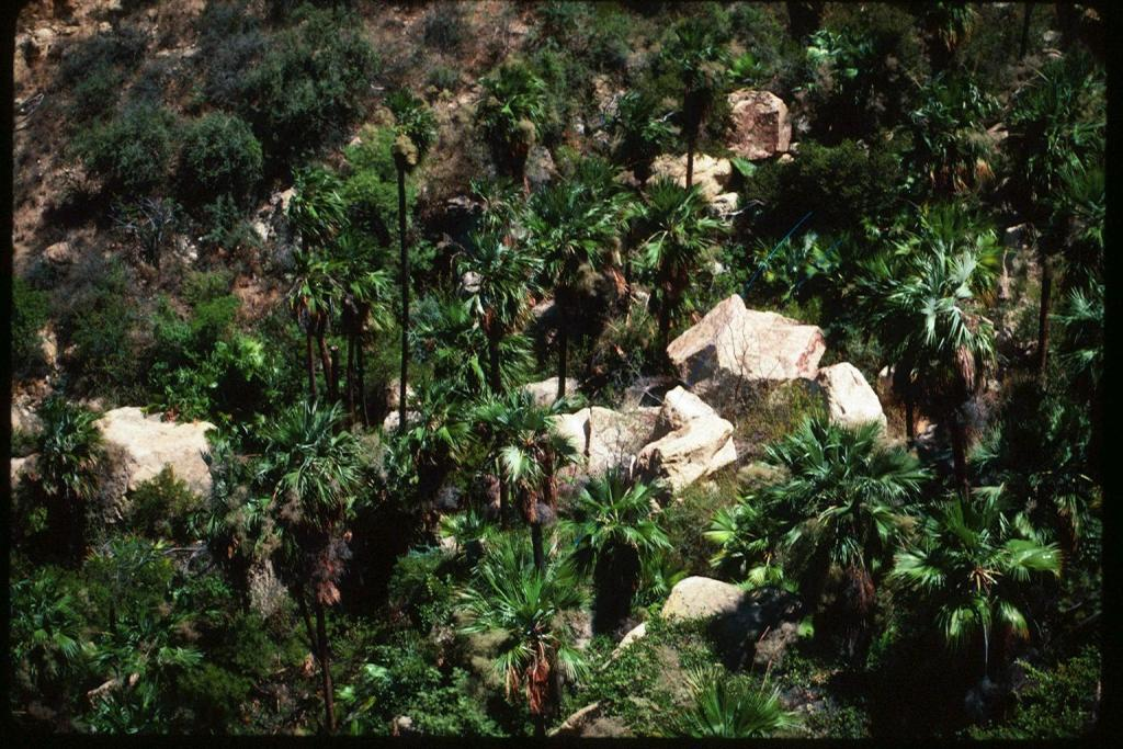 Brahea nitida canyon view from above.jpg
