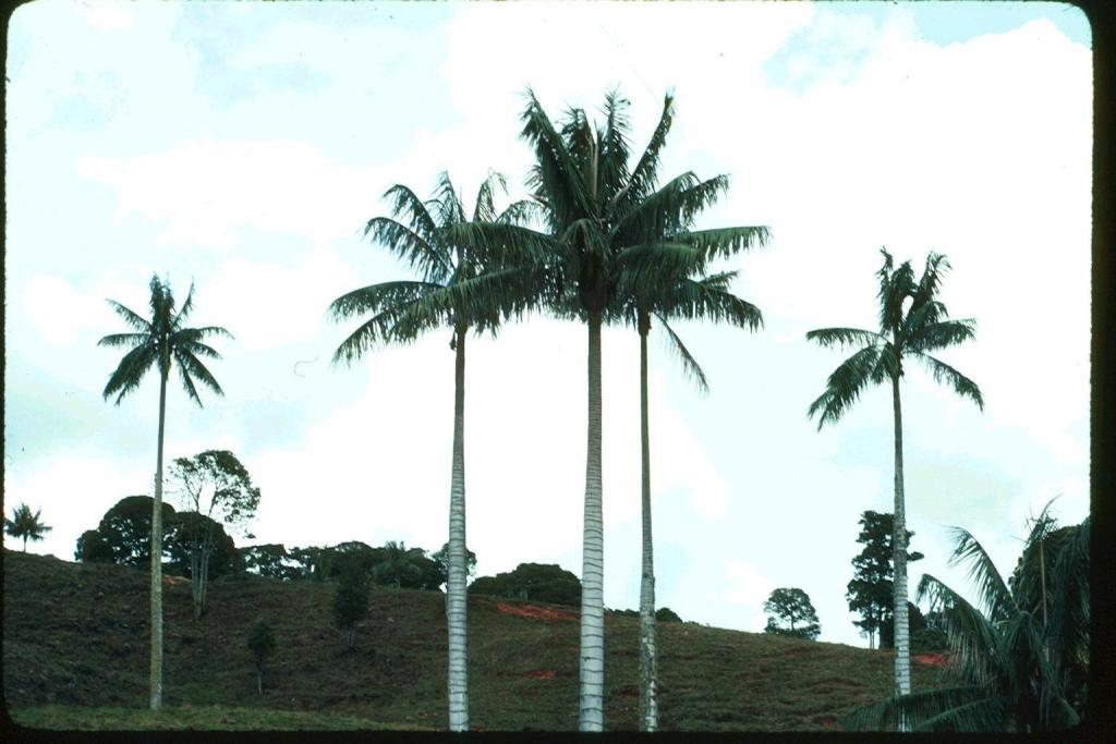 Ceroxylon quindiuense Antioquia, Guatape, Santa Rita, Columbia.jpg