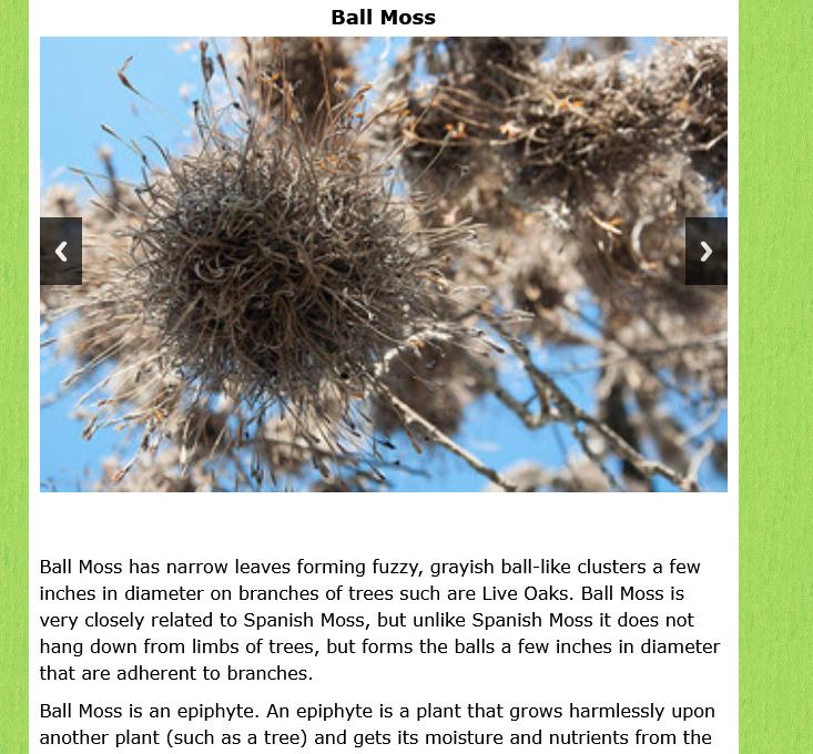 Screenshot_2021-03-12 Ball Moss - San Antonio Natural Areas.png