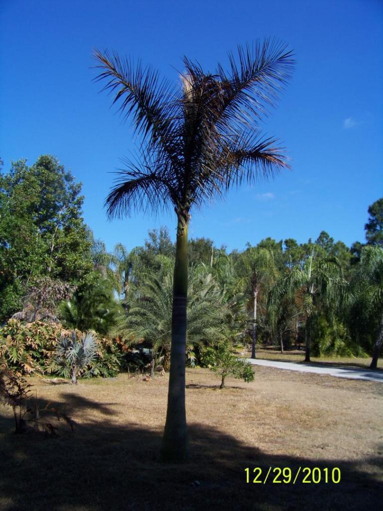 Royal palm 12-29-2010.jpg