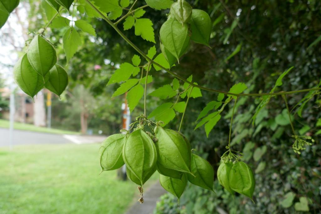 Cardiospermum grandiflorum.JPG