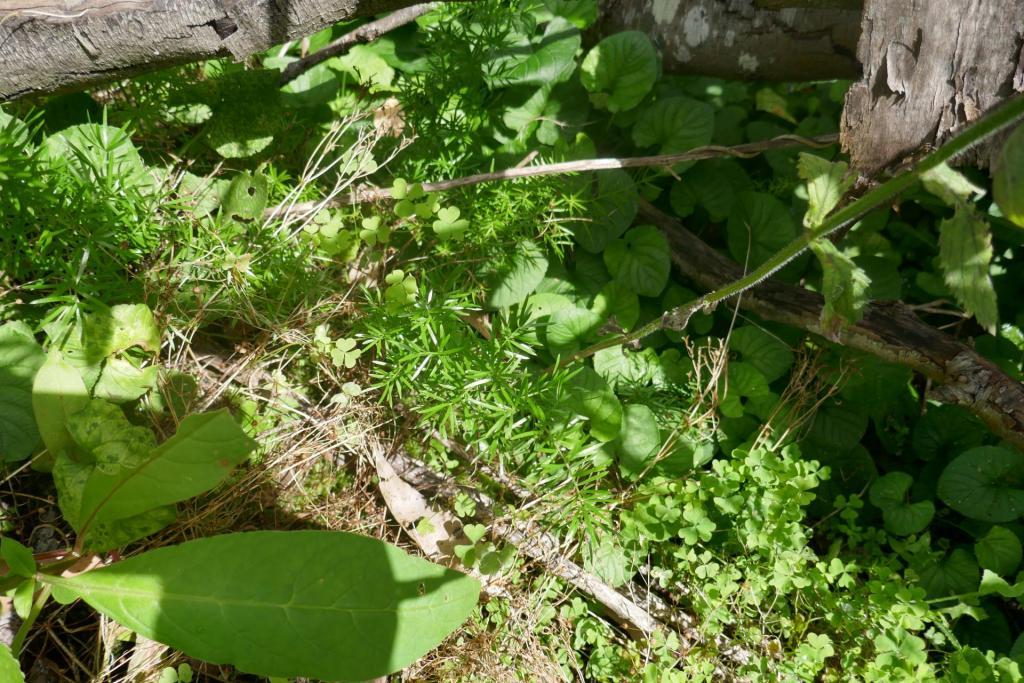 Asparagus aethiopicus.JPG