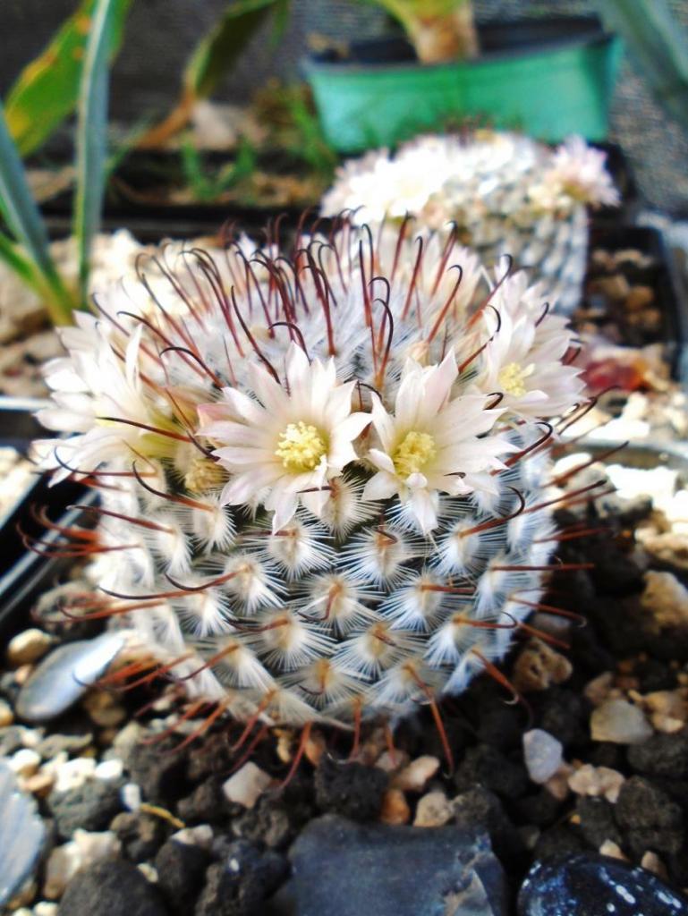 377075772_Mammillariaperezdelarosae1.thumb.JPG.9ded6c403d362738962a434a399eff7d.JPG