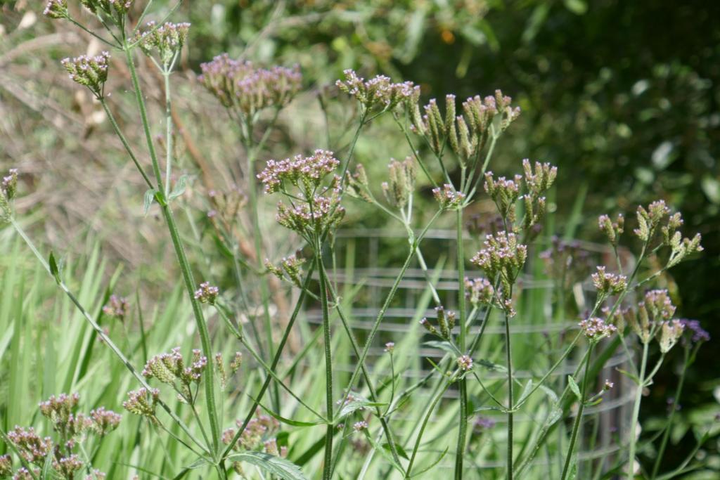 Verbena bonariensis.JPG