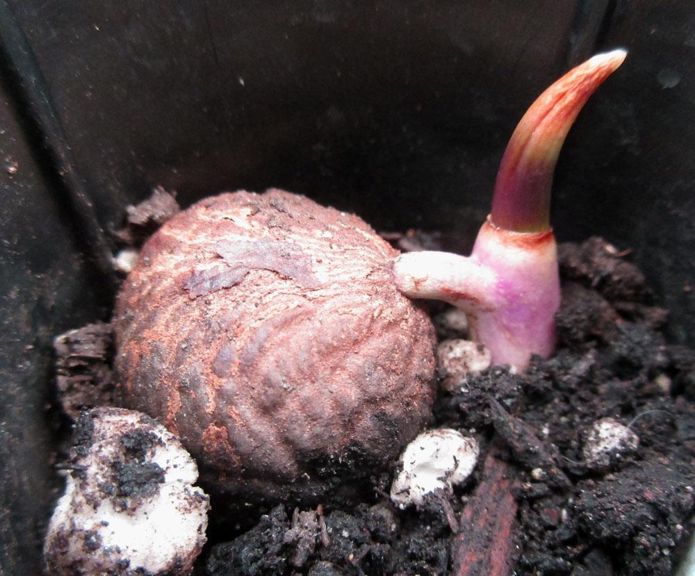 jubaea sprout.jpg