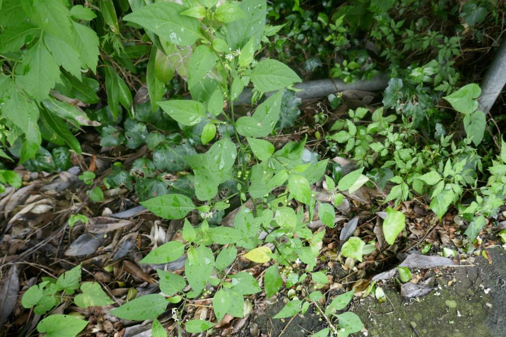 Solanum nigrum.JPG