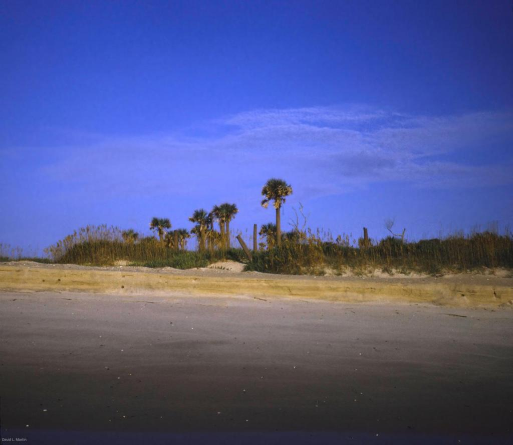 Sabal palmetto at beach, Bald Head NC downsized.jpg