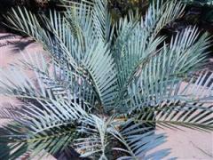 Encephalartos lehmannii 033 (Custom).jpeg.jpg