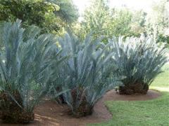 Encephalartos lehmannii (Custom).jpg