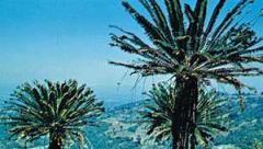Encephalartos.jpg