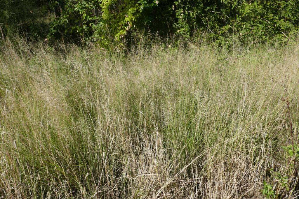 eragrostis curvula 2.JPG
