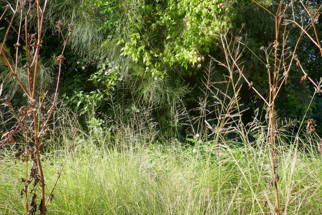 Eragrostis curvula.JPG
