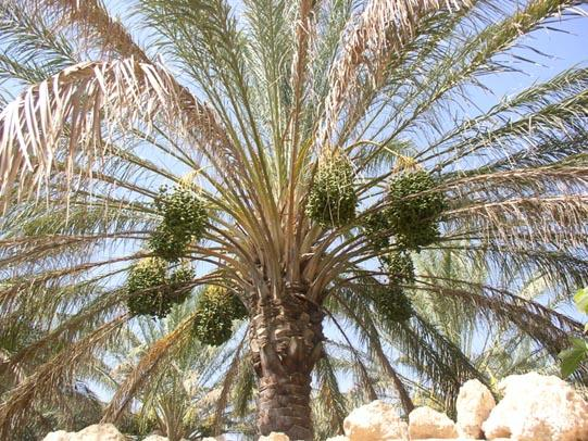 deglet-nour-dates-palm-tree.jpg