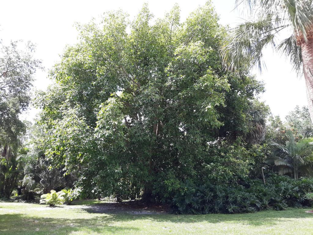 Ficus altissima 1.jpg