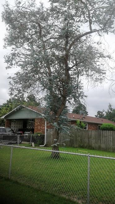Eucalyptus3.jpg.ab120f09cd1d14737f44e71afbcee1c8.jpg