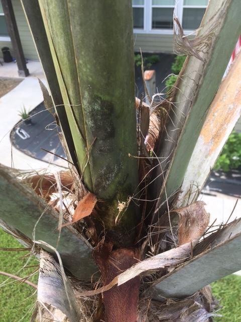 Crown Palm.JPG