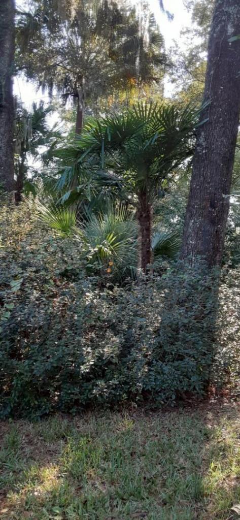 20211016_100530_Trachycarpus_fortunei.jpg