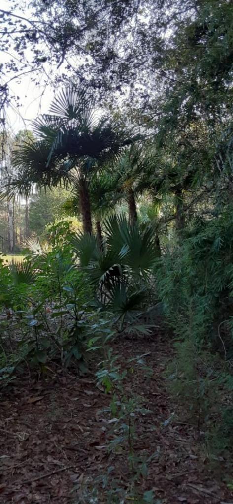 20211016_100727_Trachycarpus.jpg