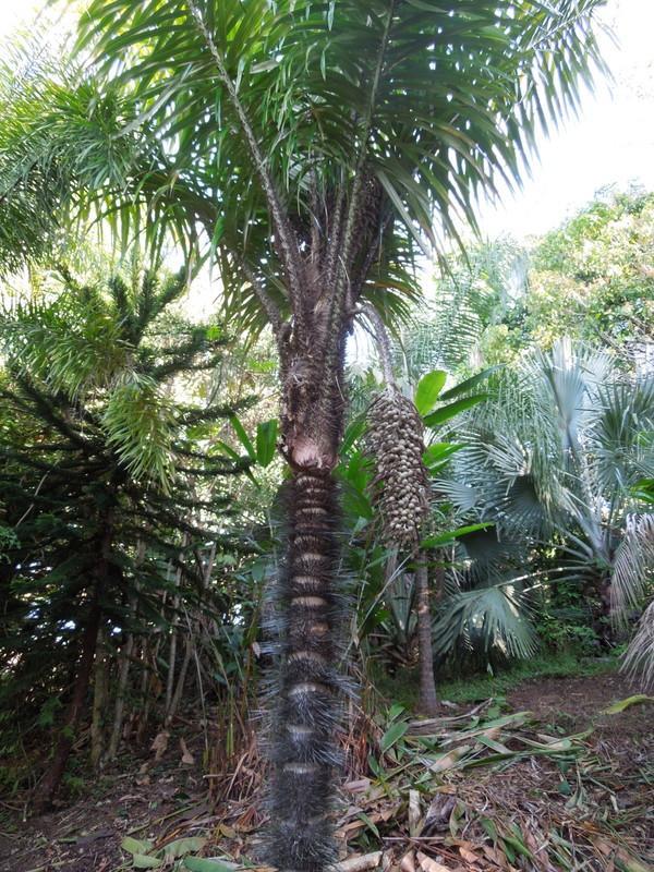 Astrocaryum Murumuru Discussing Palm Trees Worldwide