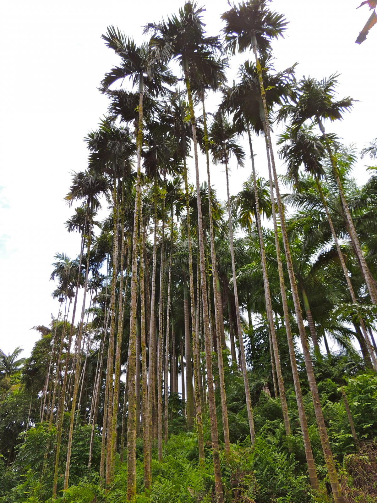 New Areca Catechu Dwarf Soothes The Loss Of Palms