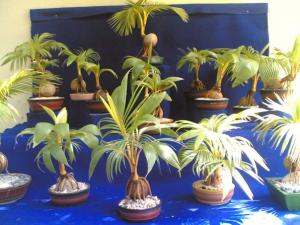 Bonsai Coconuts Discussing Palm Trees Worldwide Palmtalk