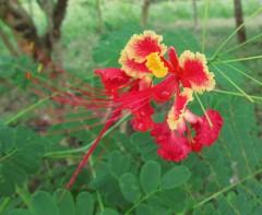 Flamboyant blossom Delonix regia