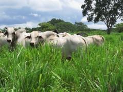 Brahman bulls