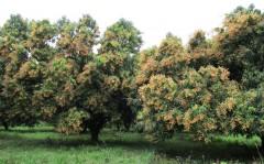 Mangos In full bloom