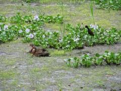 Pond ducks And jacanas