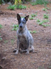 Lupo   australian cattle Dog