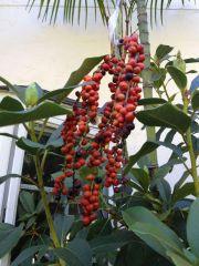 Chamaedorea radicalis, trunking form - fruit