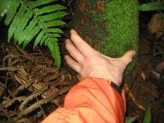 Pritchardia minor - trunk thickness, makai end of Awa'awapuhi Trail, Koke'e State Park