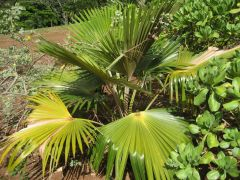 Pritchardia minor McBryde1