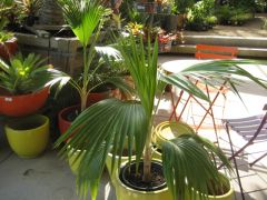 Pritchardia minor 5-gallon at Flora Grubb Gardens