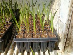 Mule palm xbutyagrus butiagrus hybrid palm