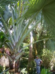 Bill langers monster palms