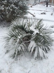 My Butia C. covered in snow January 2015