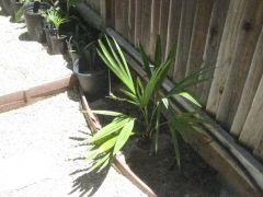 Trachycarpus uhkrulensis