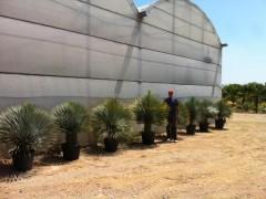 Yucca Rostrata muestra