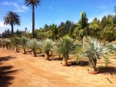 Vista Yucca Rostrata